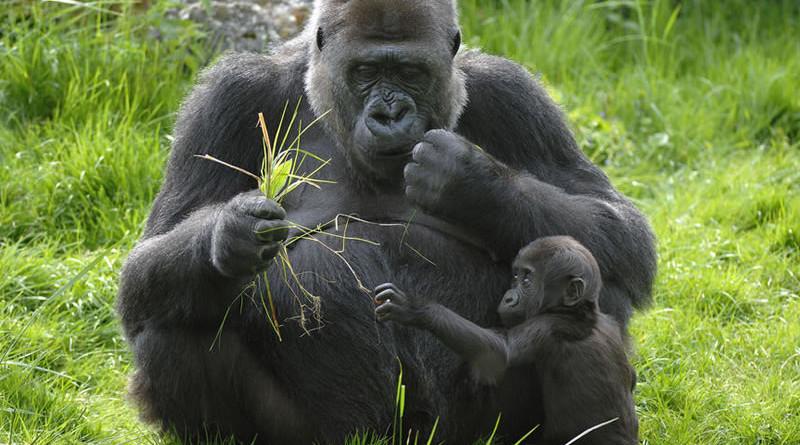 gorilass