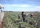 Honduras con mira a exportar melón a México