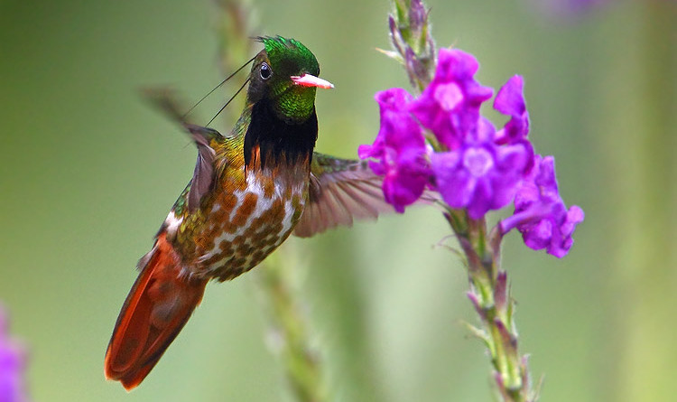 black crested coquette
