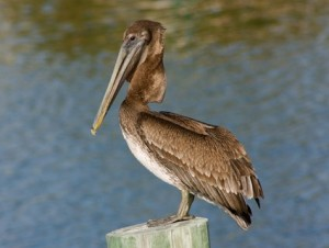 brown_pelican_