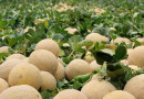 Primer contenedor de melón hondureño  recibirá México este miércoles