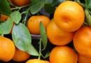 Realizan acciones para evitar plaga en cultivo de mandarina en FM