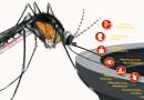 Honduras  descarta presencia de casos de  virus conocido como Mayaro
