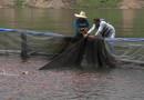 Productores de tilapia contribuyen a la seguridad alimentaria en zonas El Cajón y Lago de Yojoa