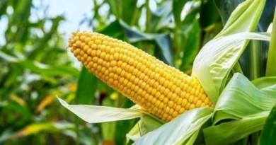 Sequía disminuye producción en siembras de primera
