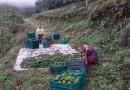 "Honduras exporta primer contenedor de aguacate ""Hass"" a Costa Rica"